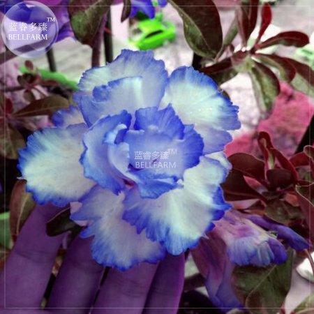 Us 159 bellfarm adenium white petals with blue edge flower seeds bellfarm adenium white petals with blue edge flower seeds 2 seeds 4 layer mightylinksfo