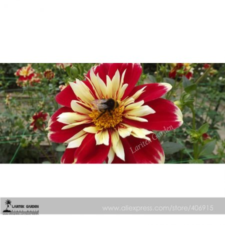 Us 066 heirloom dahlia pinnata perennial flower seeds 30 flower heirloom dahlia pinnata perennial flower seeds 30 flower dia approx 26cm double flowers dark mightylinksfo