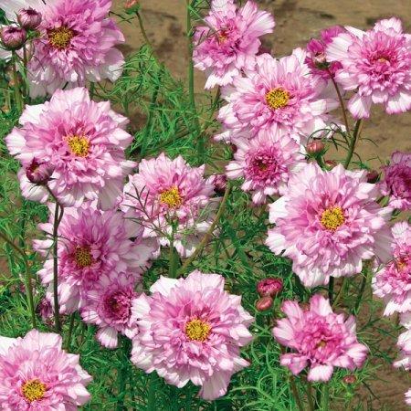 Us 099 Cosmos Bipinnatus Double Bonbon Rose Pink Bicolour