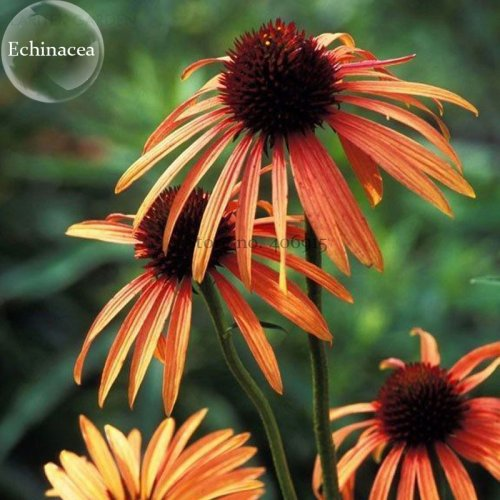 Us 3 Green Jewel Echinacea Lovely Pale Yellow