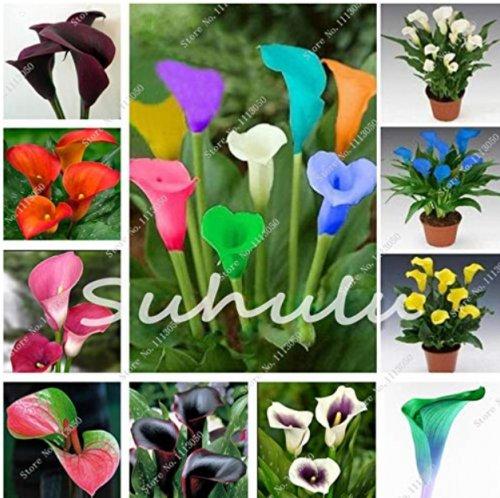 100 Pcs Calla Lily Bonsai Room Flowers Zantedeschia Aethiopica Bonsai Zantedeschia Houseplant on