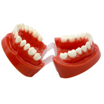 Dental 1:1 Adult Standard Typodont Demonstration Model plastic study teeth model