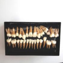 Dental 28pcs 1:1 demonstration permanent teeth teach study model #7008 Hot!