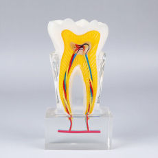Dental 6 times Tooth nerve Disfection plastic teeth model communication model