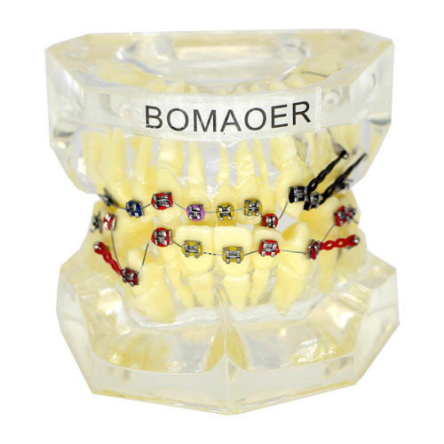Dental plastic teeth study model with elastic bands bracket and elastic chain