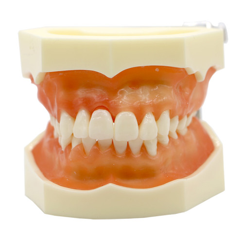 Dental typodont study teaching model detachable soft gingival with 28 screws