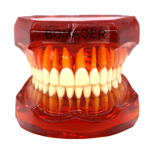 Plastic Study Teeth Model Standard model red Transparent 7002 style